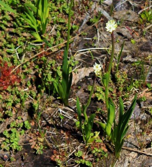 Plante cumulative nouvellement identifiée Triantha occidentalis