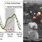 Les branches de créosote dansent, même après la mort