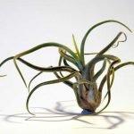 Les avantages et les inconvénients des antifongiques chez les espèces épiphytes de Tillandsia