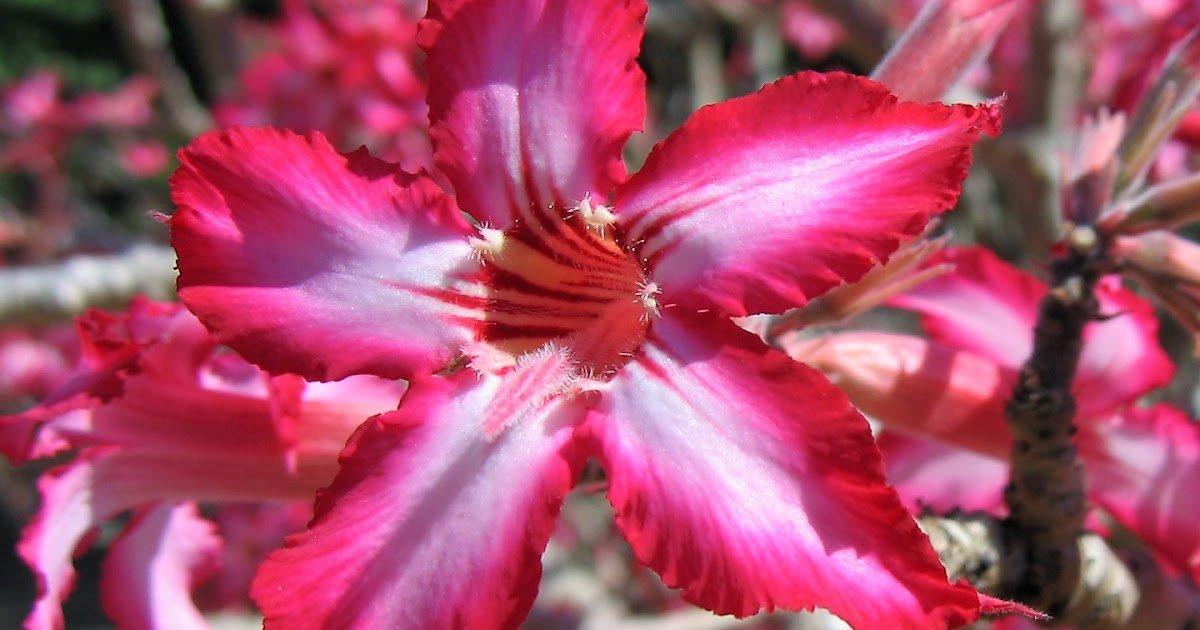Cerise, la couleur de prédilection pour la fleur du désert et notre nouveau logo