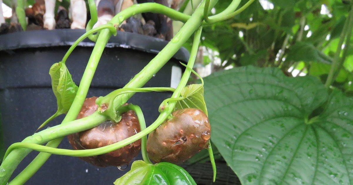 Pommes de terre à l'air dans un coin de serre