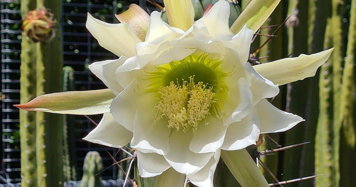 Le cactus rose est un bon sport du nord de Victoria
