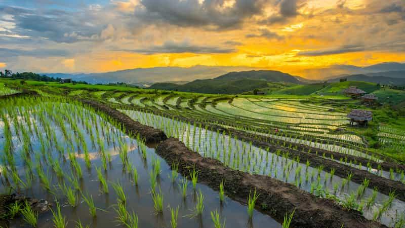Par temps froid, le pollen de riz souffre de différentes manières car il lutte pour se développer