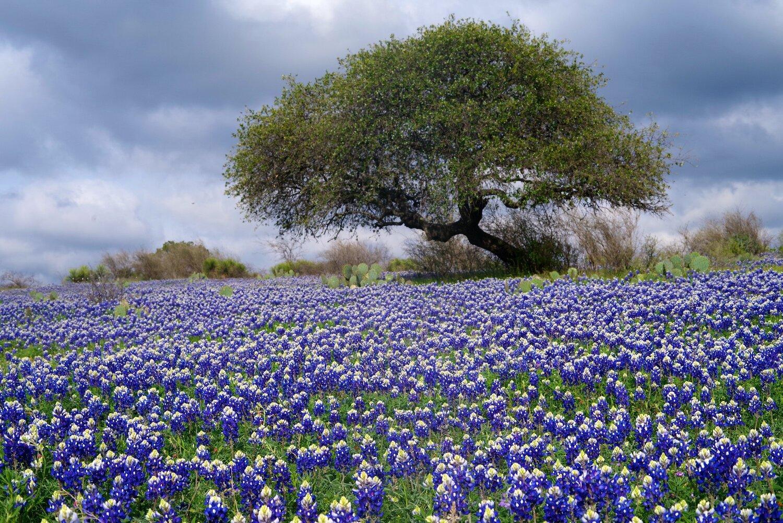 Bluebonnet Road Semis et Génétique - En Protection des Plantes