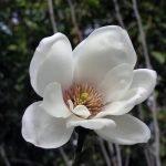 Certaines fleurs de magnolia ont des radiateurs intégrés - pour protéger les plantes