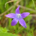 Diffusion de Bell Flower - L'une des plantes de capture du Pays de Galles  Jardin botanique national du Pays de Galles