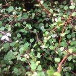 L'avenir de la culture d'arbustes Tororaro en Nouvelle-Zélande - Protéger les plantes
