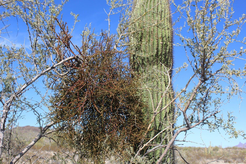 Quand les choses se compliquent, les guis du désert collaborent - Dans la protection des végétaux