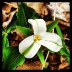 Quand les fleurs de trille virent au vert - En Protection des Plantes
