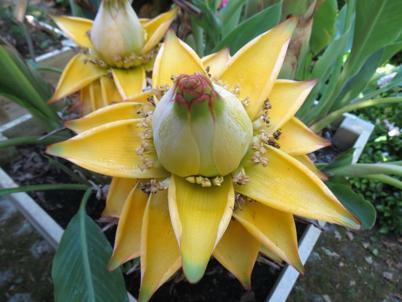 Rencontrez le Lotus Bananier Doré - En Protection des Plantes