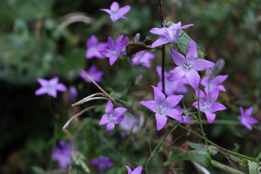 Répandre la fleur de cloche - Ce que nous avons trouvé |  Jardin botanique national du Pays de Galles
