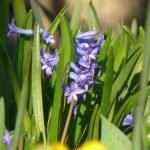Zoom sur les jacinthes - En protection des végétaux